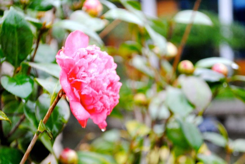 Flower Petal Growth Pink Color Nature Fragility Focus On Foreground Beauty In Nature No People Flower Head Close-up Day Freshness Blooming Outdoors Plant