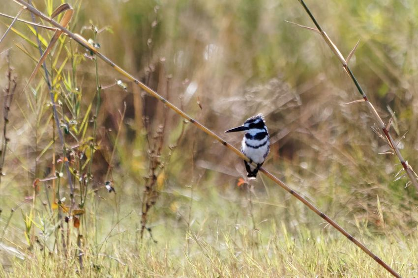 Pied kingfisher perched on reed Kingfisher Kingfisher Bird Pied Kingfisher Ceryle Rudis Okovango Okovango River Cubango River Namibia Africa EyeEm Selects Bird Water Animal Themes Grass Reed - Grass Family Marsh Wetland Reed Freshwater Bird