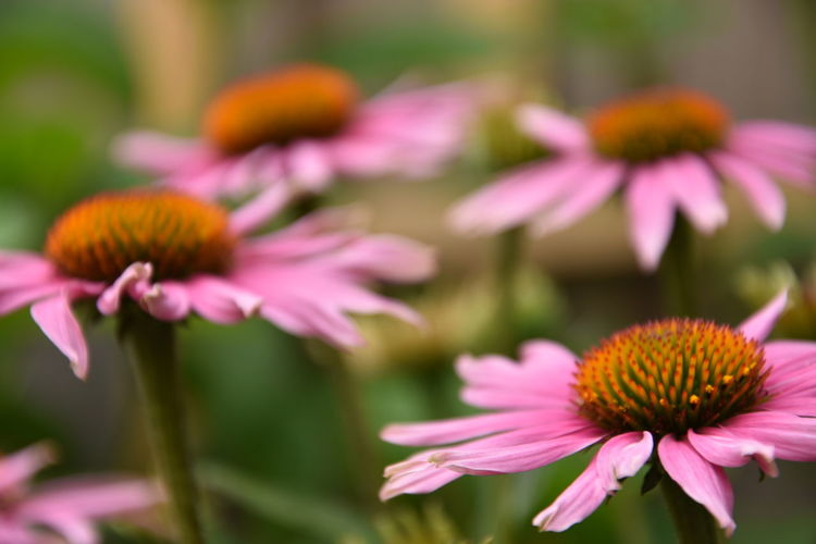 Beautiful pink flowers Beauty In Nature Close-up Coneflower Day Flower Flower Head Flowering Plant Flowers Focus On Foreground Fragility Freshness Growth Inflorescence Nature No People Outdoors Petal Pink Color Pink Flower Plant Pollen Purple Selective Focus Vulnerability