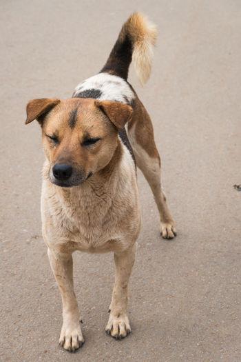 thai dog Animal Themes Brown Close-up Day Dog Domestic Animals Local Dog One Animal Outdoors Pets Standing ThaiDog