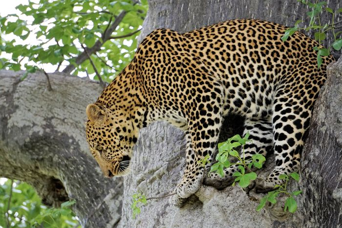 Mdonya Old River Camp Ruaha Tanzania Africa Animal Animal Markings Animal Themes Animal Wildlife Animals In Captivity Animals In The Wild Big Cat Carnivora Cat Day Feline Leopard Mammal Nature No People One Animal Outdoors Plant Safari Tree Vertebrate Zoo
