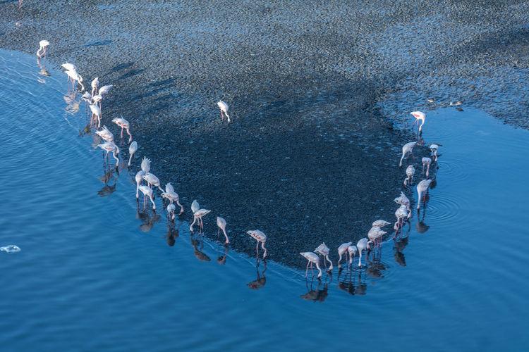 High angle view of flamingos drinking water at beach