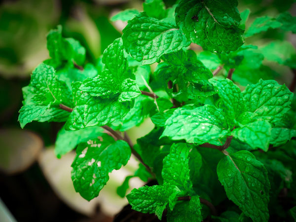 Agriculture Cooking Herb Ingredients Close-up Essential Focus On Foreground Foliage Food Freshness Garden Healthy Eating Leaf Leaves Mint Mint Leaf - Culinary Nature Oganic  Oil Peppermint Peppermint Plant Plant Selective Focus Vegetable Vulnerability