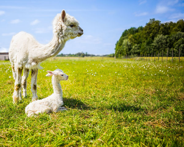 Alpaca Baby Family Farm Animals Love Mother New Born Alpaca Baby Alpaca Newborn Alpacas Animal Themes Curious Cute Day Domestic Animals Grass Mammal Mother And Baby Mother And Child Nature Newborn No People Outdoors Small White