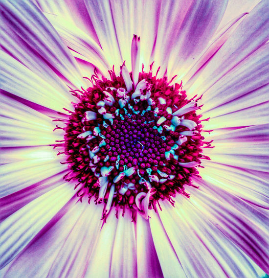The Centre of a Flower Wildlife & Nature Beauty In Nature Outdoors EyeEmSelect Nature Green Flower Head Flower Concentric Backgrounds Eastern Purple Coneflower Full Frame Petal Pollen Stamen Purple In Bloom Blossom Black-eyed Susan Blooming Plant Life