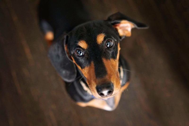 Happiness❤️ Pet Portraits Hanging Out Hello World Dog Pets Tadaa Community Dachshund Puppy Authentic Moments Snapshots Of Life EyeEm Best Shots Family Love Showcase June