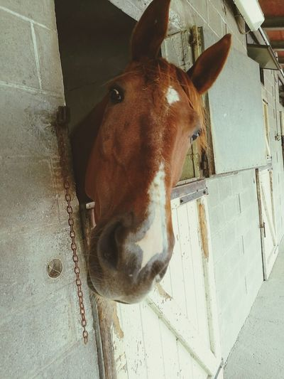 Horseracing Harness Racing Stallion Trotter Horse Venere Ok Qualifica Padova Padovanelle Ippodromo