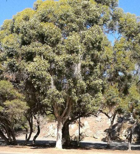 Australian tree near river Nature Outdoors Sunshine Beauitful Day original