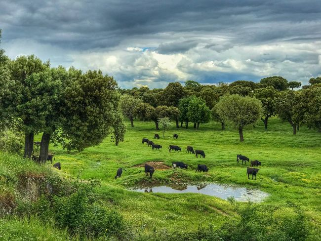Bull Weather Storm Cloud Environment Rural Scene Cattle Herd Livestock Animal Themes Animals In The Wild Wildlife Dangerous Animals Toros Bravos Toros Farmland Plant Tree Cloud - Sky Green Color Sky Beauty In Nature Growth Field Nature Landscape Land Scenics - Nature Environment Tranquility Agriculture