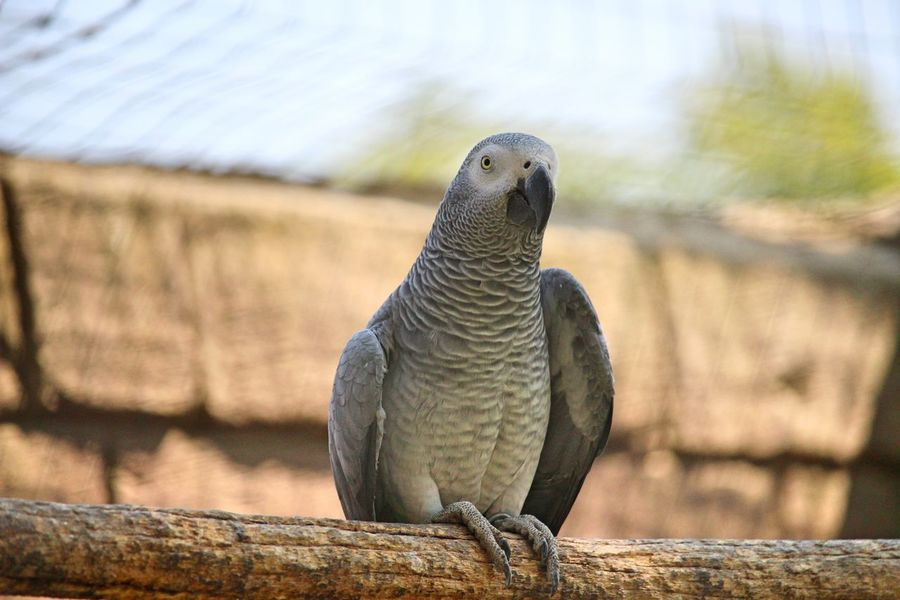 Animals In The Wild Beak Bird Photography Nature Animal Animal Portrait Animal Themes Beauty In Nature Bird Birds_collection Close-up Day Details Of Nature Focus On Foreground Grey Log No People One Animal Outdoors Parrot Parrot Lover Perching Portrait Sky Wood - Material