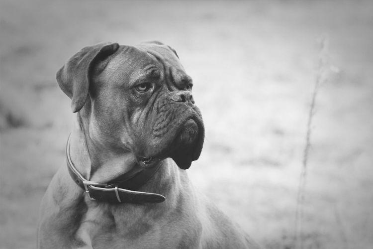 Close-up of bulldog