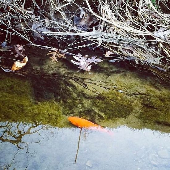 Goldfish making a Decatur creek his habitat. Life's circumstances are what you make of it. How do you perceive the world? Motivation Inspired Perception Goals Circumstances Outlook Optimism Goldfish Creek Comfort Comfort Zone Water Tranquility Safe Nature
