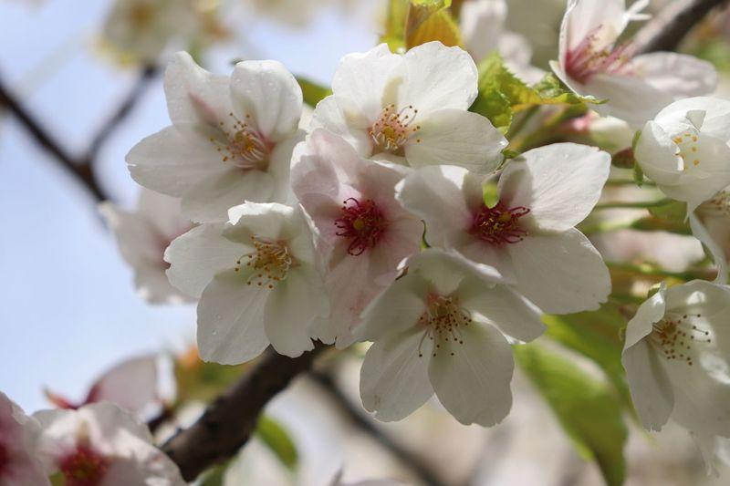 Flowers Cherry