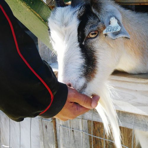 My fiancee Feeding  a Goat at The Great Pumpkin Farm in Clarence, Ny. Animal Fall Festival Petting Zoo Hand Shot