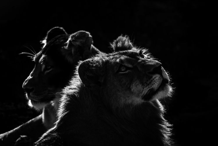 2 lions Animal Animal Body Part Animal Head  Animal Themes Black Black & White Black And White Blackandwhite Focus On Foreground Lion Lions Monochrome Portrait Zoology