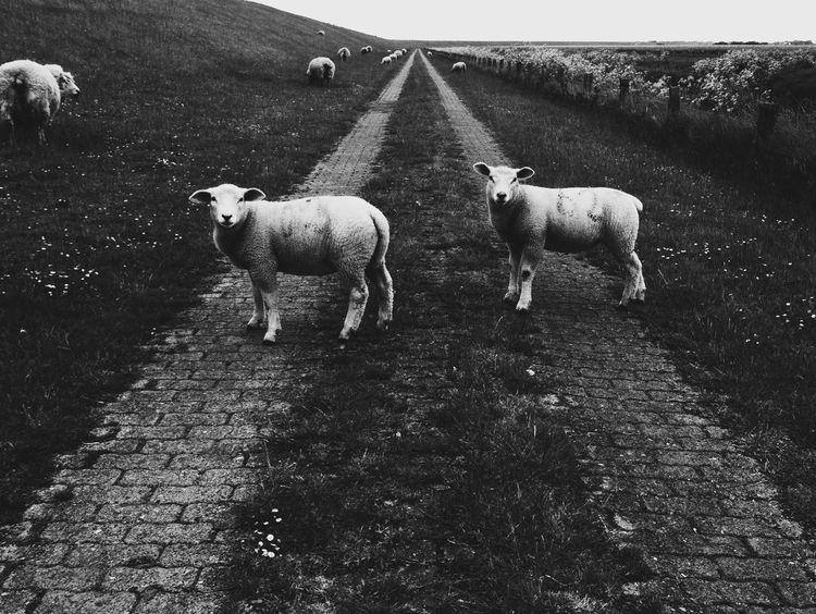 Mäh! Reedit Sheep Schafe Deich  Nordfriesland Norddeutschland Bw_collection Animal Photography VSCO Vanishing Point