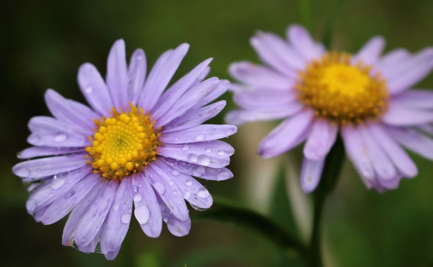 Purple Daisies Daisies Daisy Raindrops Beauty In Nature Close-up Dew Drops Dewdrops Flower Flower Head Flowering Plant Focus On Foreground Fragility Freshness Growth Inflorescence Nature No People Petal Plant Pollen Purple Raindrops On Flowers Selective Focus Vulnerability  Yellow Autumn Mood