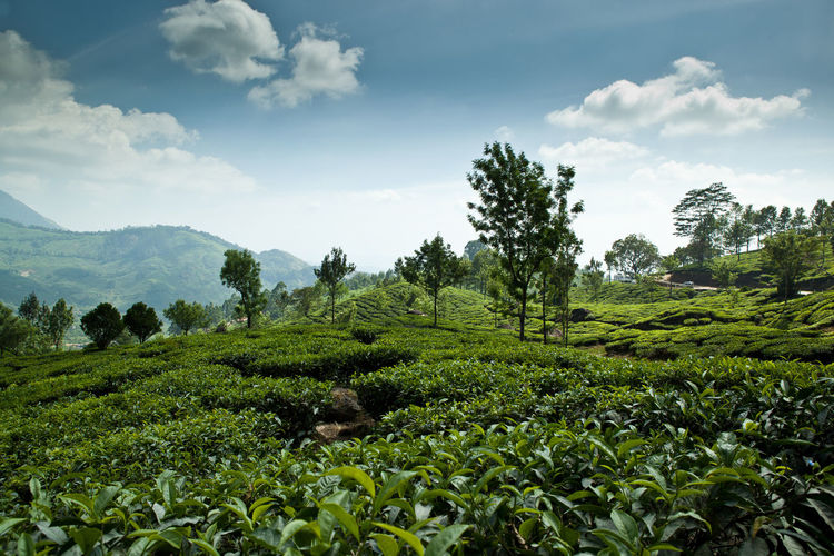 Tea crops growing on field against sky