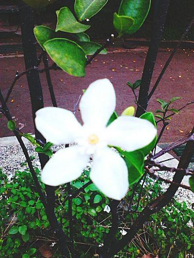 Taking Photos Flower White EyeEm Nature Lover Check This Out at Taman Ade Irma Suryani Taman Topi Bogor, Indonesia