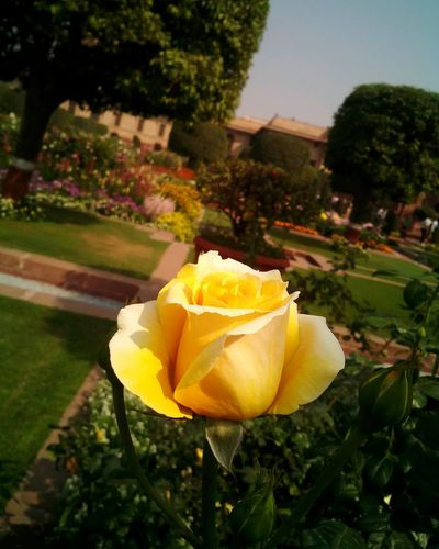 Showcase March Flower Floralperfection Yellow Yellow Rose Rose🌹 Flower Collection Garden Nature Nature Beauty Beautiful Beauty PhonePhotography Smartphonephotography 5mpcamera Rose - Flower