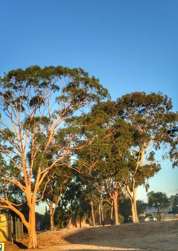 Taking Photos Relaxing TreePorn GumTree Rows Of Things Sunlight Blue Sky Park Gum Trees Tree And Sky