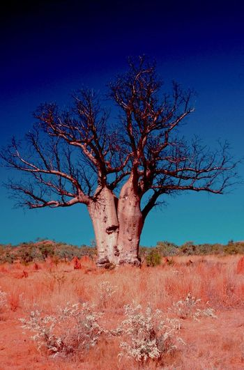 Arid Climate Autumn Bare Tree Beauty In Nature Boab Tree Branch Dead Plant Desert Geology Growth Low Angle View Nature No People Outdoors Pilbara Remote Silhouette Tranquil Scene Tranquility Tree Tree Trunk Twig