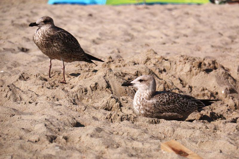 Animal Themes Bird Sand Shadow Nature Sandy Timmendorfer Strand GERMANY🇩🇪DEUTSCHERLAND@ Taking Photos Seagull Travel Destinations Focus On Foreground