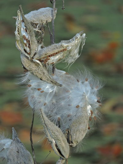 Nature Flower Day Outdoors Seed Plant Dry Growth Fragility Close-up Beauty In Nature Softness No People Vulnerability  Dead Plant Selective Focus Flowering Plant White Color Dandelion Seed Flower Head Focus On Foreground Wilted Plant Milkweed Seeds Autumn Mood