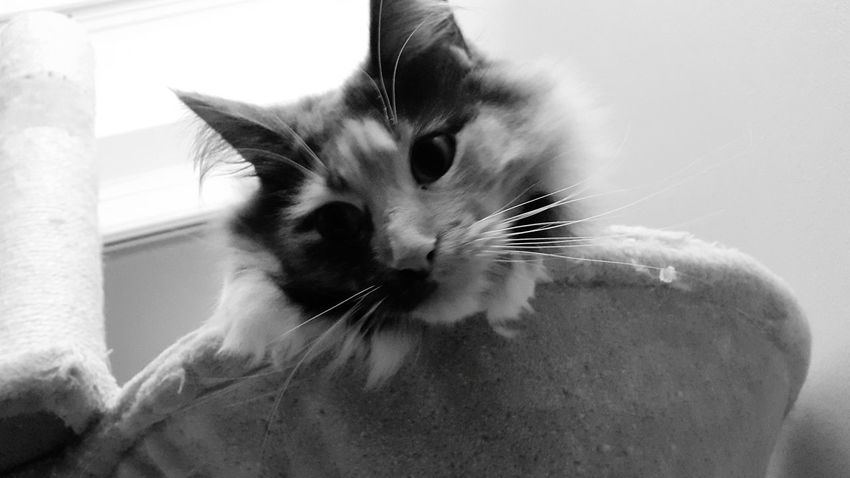 Domestic Cat One Animal Pets Domestic Animals Animal Themes Close-up Mammal Whisker Indoors  Portrait Feline No People Day Meow🐱 Chilling At Home Neu Wulmstorf MarieTheCat Blackandwhite