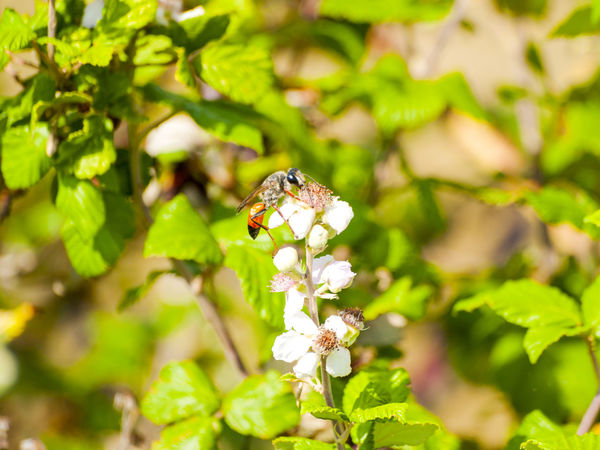 Animals In The Wild Rubus Animal Themes Animals In The Wild Beauty In Nature Bee Close-up Environment Flower Flower Head Fragility Freshness Green Color Growth Insect Leaf Nature One Animal Plant Rubus Ulmifolius Spring Springtime Wasp Wildlife