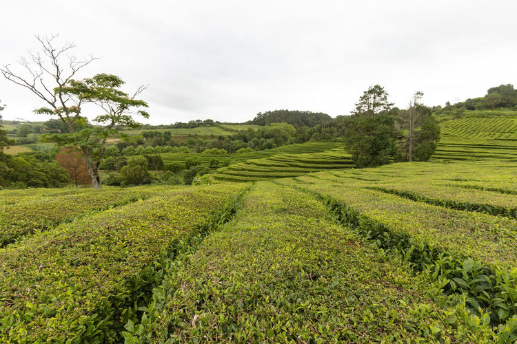 A tea plantation near Sao Bras on Sao Miguel island in the Azores. Sao Miguel Portugal Azores Island Archipelago Tea Gorreana Production Factory Rows Hedges Europe European  Black Green Travel Destination Tourism Tour Camellia Sinensis Plantation Agriculture Lanscape Farm Organic