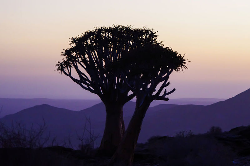 Quiver Tree at Twilight Namibia Twilight Background Backgrounds Beauty In Nature Dusk Environment Idyllic Landscape Mountain Mountain Range Nature No People Non-urban Scene Outdoors Plant Scenics - Nature Silhouette Sky Smooth Sunset Tranquil Scene Tranquility Tree Twilight Sky