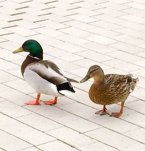 High angle view of mallard ducks on footpath