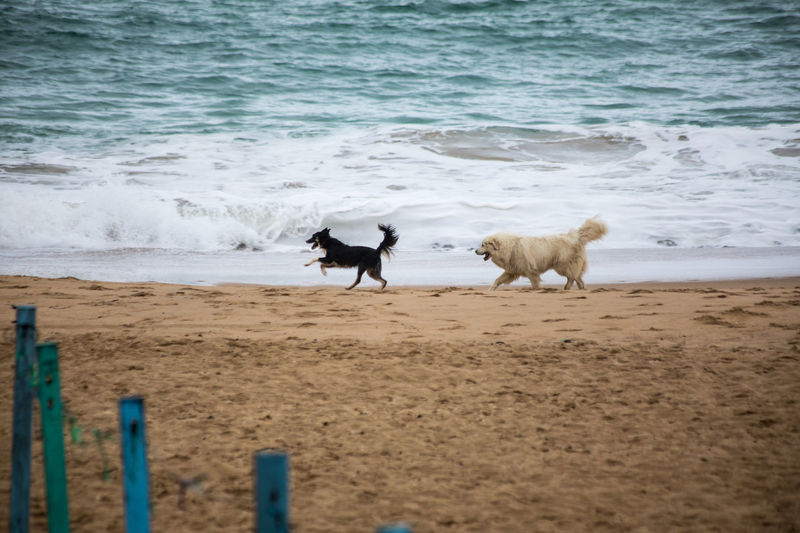 Atlantic Ocean In The Water Playtime Animal Themes Black Dog By The Beach Dogs Love Getting Wet Dogs Playing Together Domestic Animals No People Running Running Free Sandy Beach Two Dogs Playing White Dog