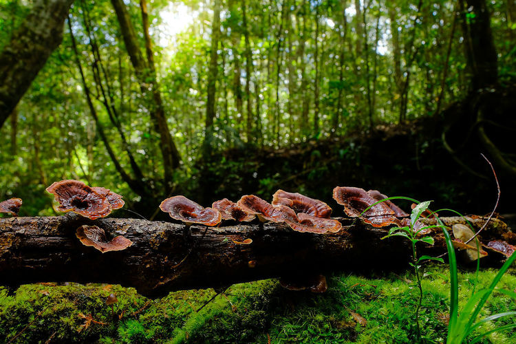 Close-up of mushrooms growing on tree trunk in forest