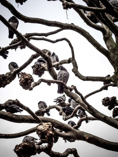 Showcase: February when doves cry Hamburg Dove Pigeon Birds Bird Photography Birds_collection Sitting On A Tree On Branches Branches Waiting Staring Hang About Loaf Around Wait The Birds Hitchcock 1963 Stare Peer Gaze