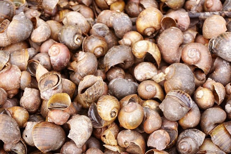 Channeled Applesnail Natural Nature Reptile Animal Applesnail Brown Close-up Freshness Golden Applesnail No People Pomacea Canaliculata Shell