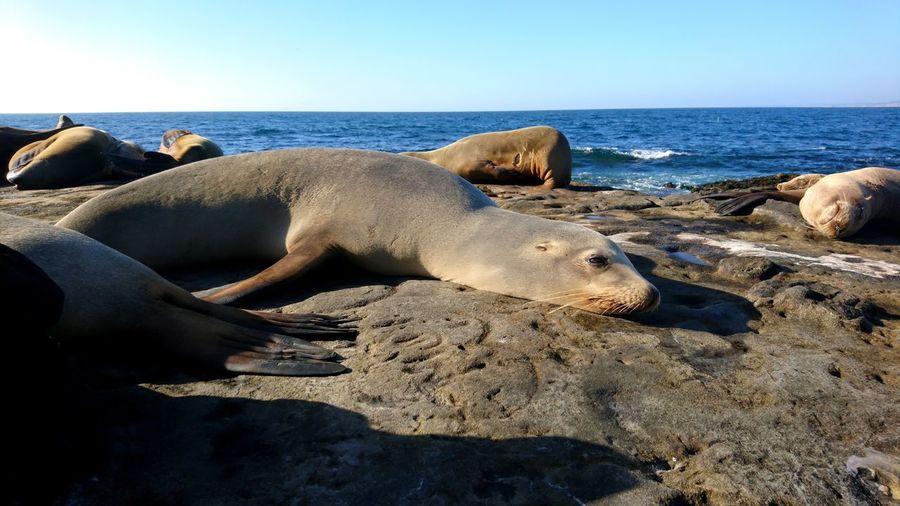 Sea lion San