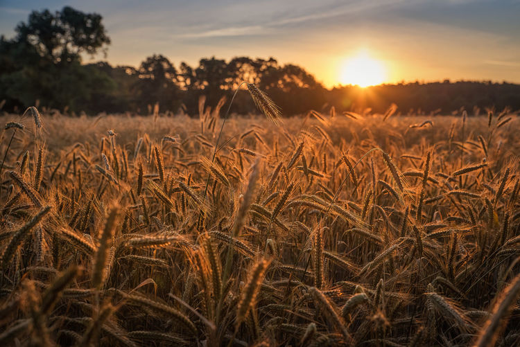 Sunrise over cornfield Sky Plant Field Land Tranquility Growth Beauty In Nature Agriculture Landscape Tranquil Scene Scenics - Nature Nature Rural Scene Sunlight Cereal Plant Environment No People Farm Sun Outdoors Stalk Grainfields Grain Summer EyeEmNewHere