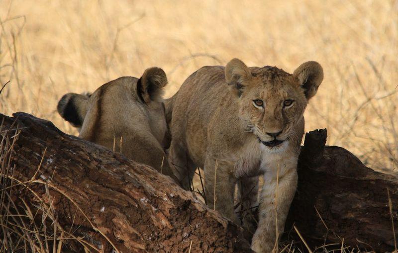 EyeEmNewHere Cubs  Lions Tarangire Tarangire National Park Tanzania EyeEm Selects Lioness Animal Wildlife Animals In The Wild Nature Animal Outdoors Mammal