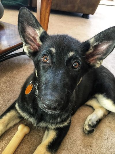 My partner in crime, look at those ears! Lol 💝 Germanshepherd Germanshepherd Petstagram Gsdpuppy Gsdpuppy One Animal Pets Mammal Domestic Animal Themes Animal Canine Dog Domestic Animals Close-up