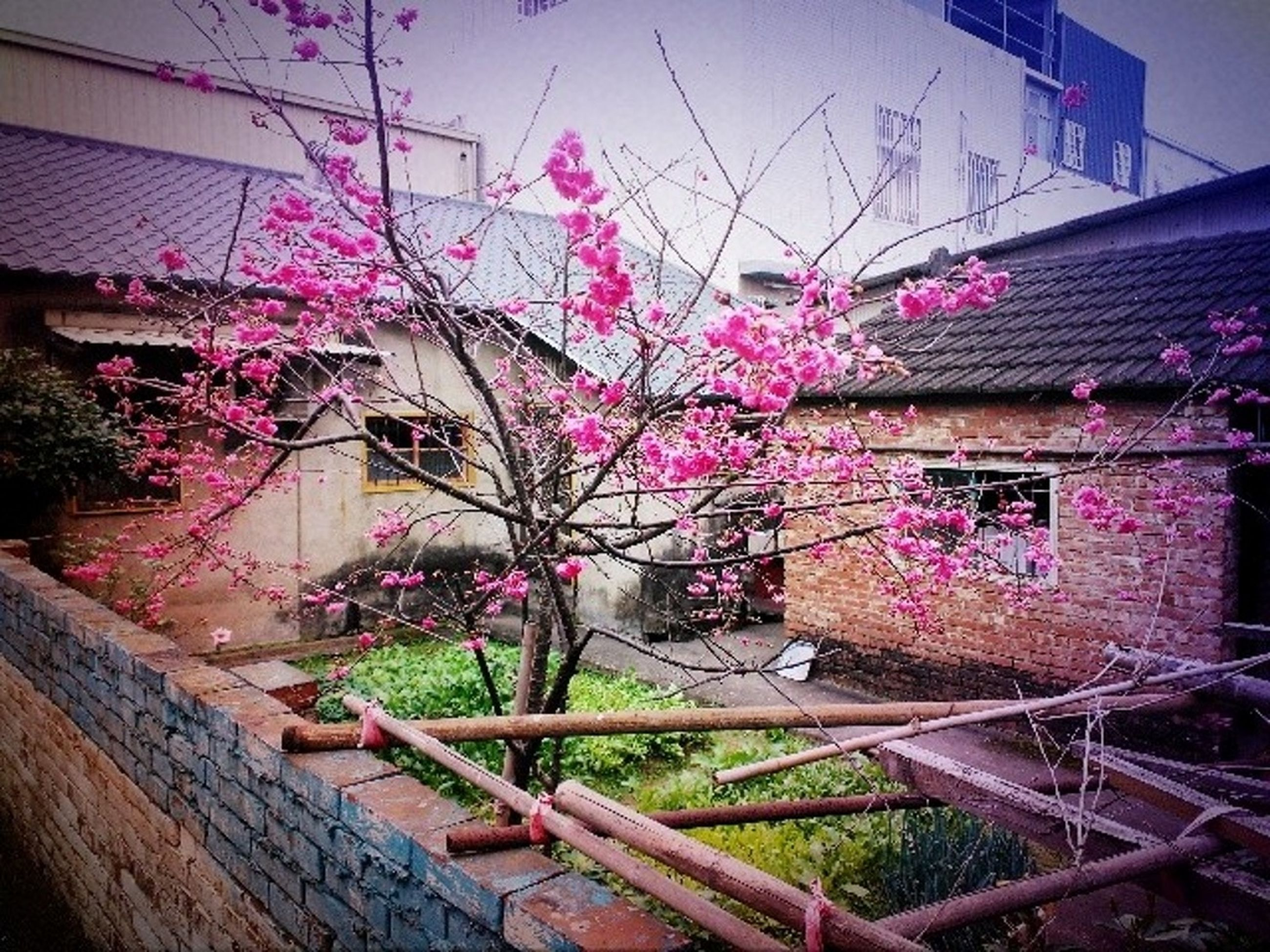 flower, built structure, architecture, building exterior, pink color, growth, freshness, fragility, plant, house, blossom, nature, in bloom, blooming, railing, beauty in nature, potted plant, day, outdoors, no people