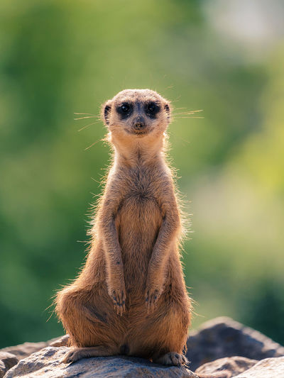 Portrait of  meerkat sitting on rock