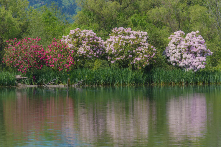 Plant Flower Flowering Plant Beauty In Nature Lake Water Pink Color Nature Tranquility Tree Reflection Growth Outdoors No People Day Tranquil Scene Blossom Environment Foliage Ornamental Garden