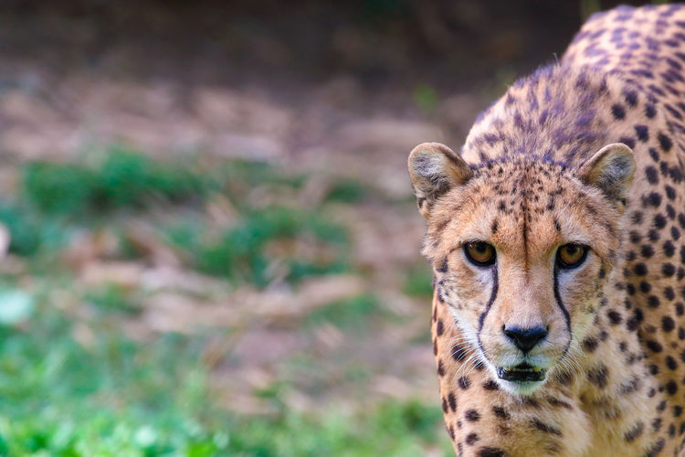 Portrait Of Cheetah