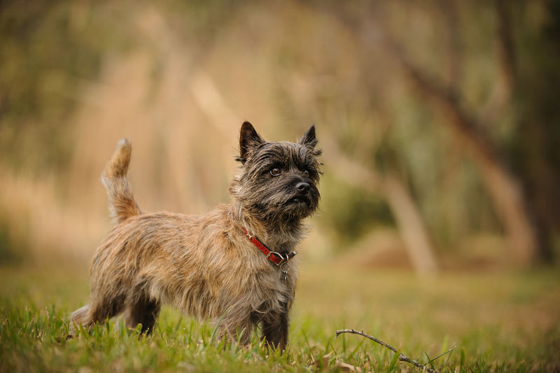 Cairn Terrier dog Field Standing Trees Animal Themes Cairn Cairn Terrier Day Dog Domestic Animals Focus On Foreground Mammal No People One Animal Outdoors Pets Photography Portrait Purebred Terrier