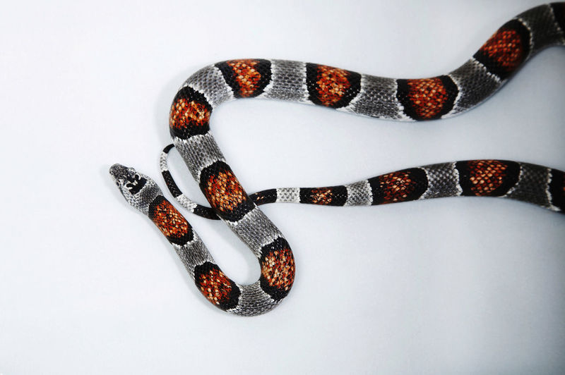 corn snake Cold Blooded Creatures North America Pantherophis Guttatus Reptile Scaled Snake Species Amphibian Animal Themes Animal Wildlife Cold Blooded Corn Snake Crawl Cute Harmless One Animal Pet Scary Small