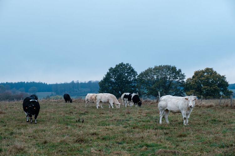 Fujifilm Fujifilm_xseries FUJIFILM X-T2 Mammal Livestock Animal Animal Themes Domestic No People Field Herbivorous Land Cow Cattle Livestock Field Autumn