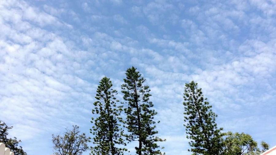 Tree Sky Nature Cloud - Sky Growth No People Tranquility Beauty In Nature Outdoors Low Angle View Day Scenics Pine Tree Cristmastree Clouds And Sky Branch Only Trees Trees With Sky