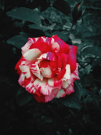 Flower Petal Nature Rose - Flower Fragility Day Freshness Red No People Beauty In Nature Close-up Pink Color Flower Head Poppy Black Background Outdoors